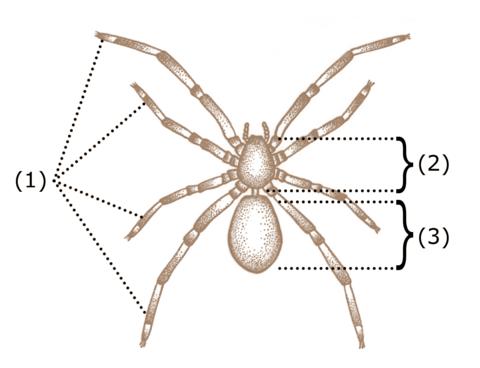 solitar păianjen