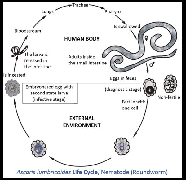 Fecale pe ouă de vierme în timpul sarcinii Vierme de ou în simptomele copiilor
