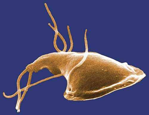 Giardia duodenalis tratament. Giardia parazita kutya