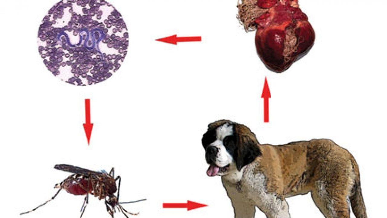 Țânțarii și viermii din inima câinelui. Dirofilarioza | Animale de companie, Câine, Câini
