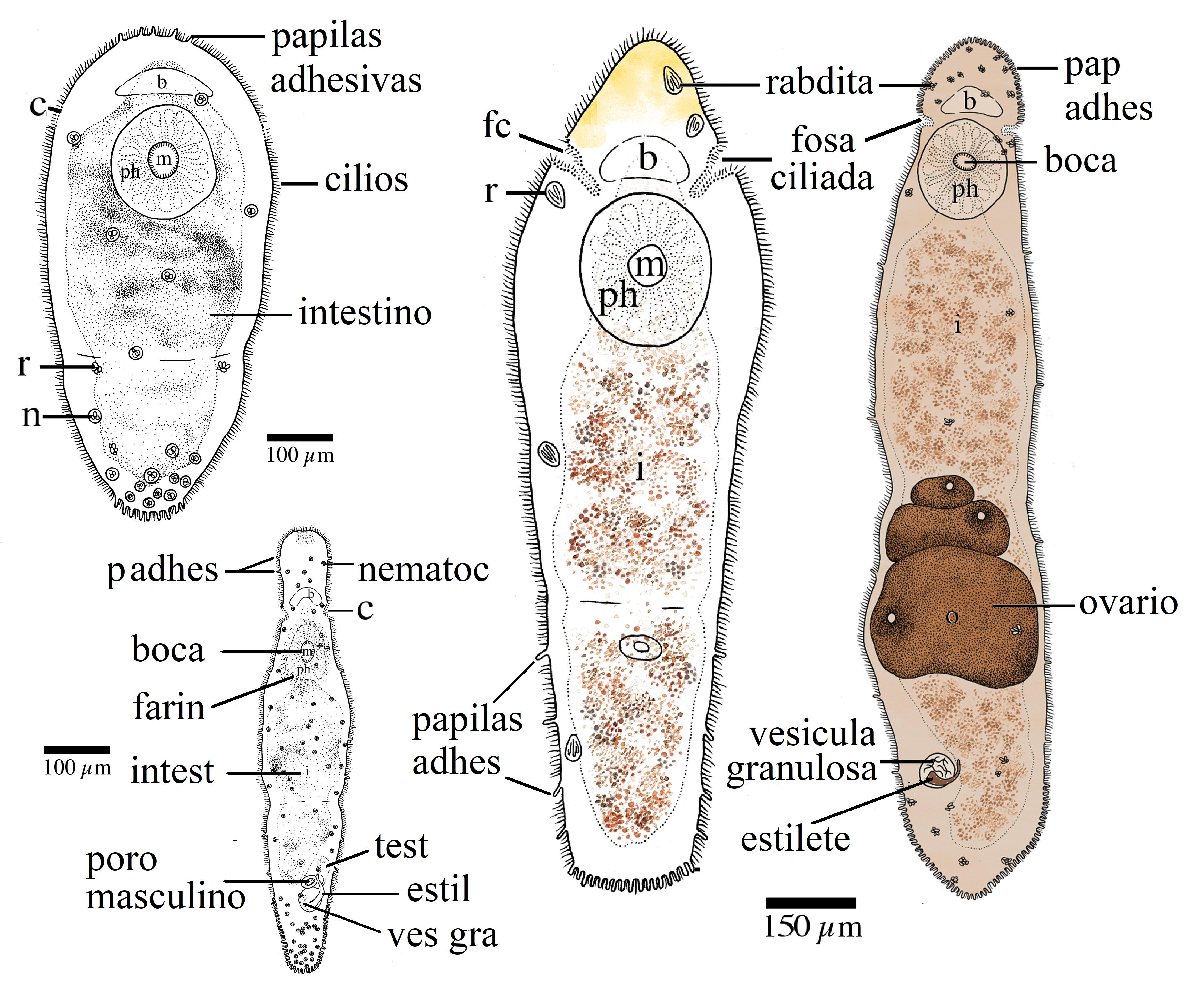 filo platyhelminthes turbellaria faza de dezvoltare a viermei