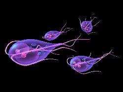giardia și sarcina umană helminth worms