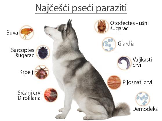 Crevni paraziti kod pasa. Crevni paraziti kod ljudi lecenje