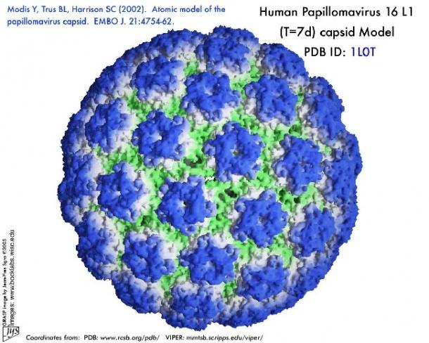 human papilloma virus how