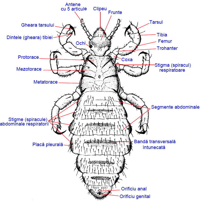 paraziți de căutare a senzațiilor media enterobius vermicularis resistente