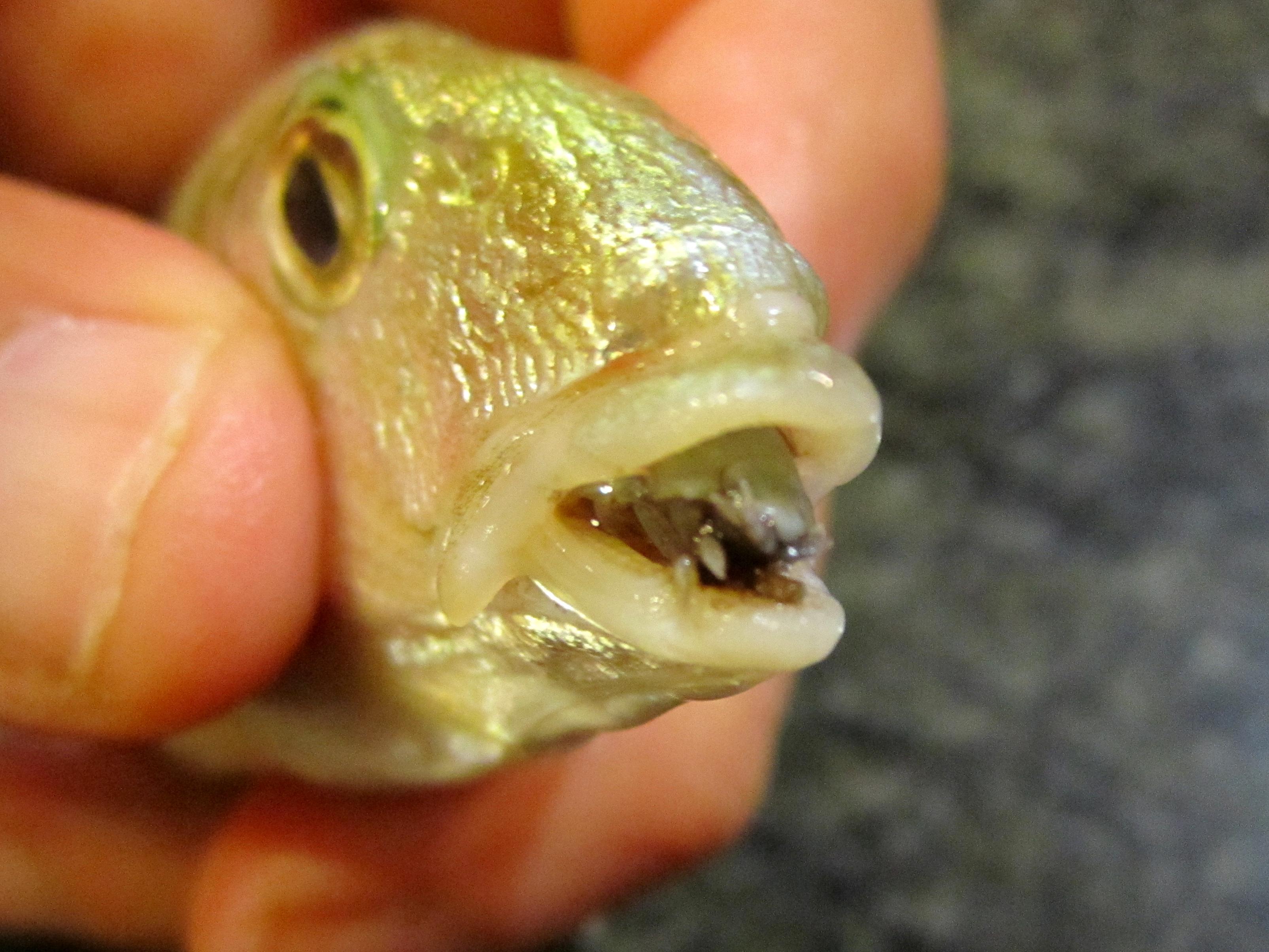 parazit v rybach