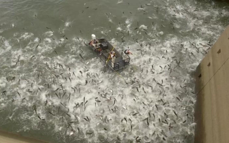 Dezlegare la peşte: adio, crap chinezesc!