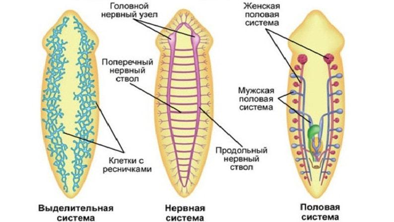 specii de platyhelminthes turbellaria