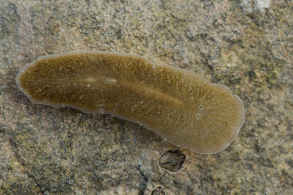 specii de viermi la adulți