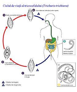 tratamentul parazit de hookworm como eliminar parasitos oxiuros