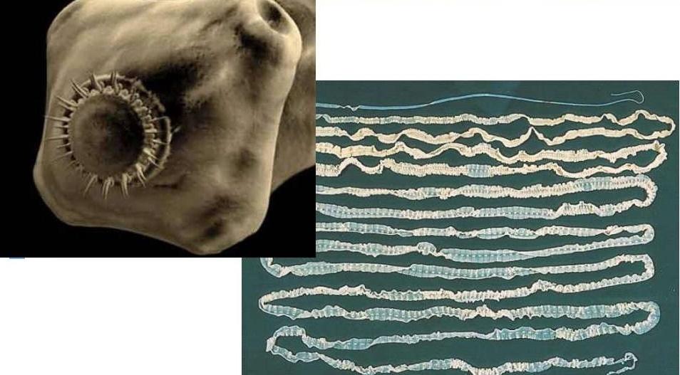 Care sunt funcțiile reproducerii în poliechete. Viermi poliacheți din clasa Polychaeta