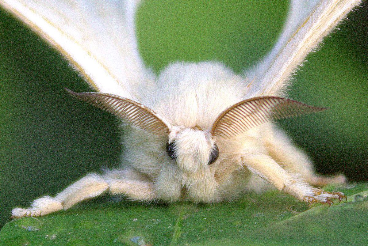 un vierme sălbatic