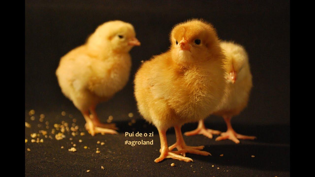utilizarea pastei de găină de vierme