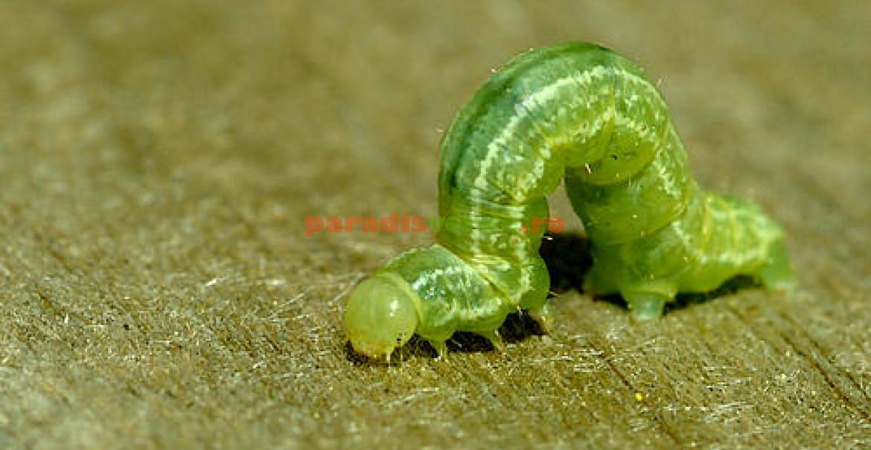 modul de determinare a tipului de viermi