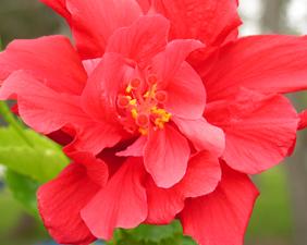 paraziti trandafir japonez