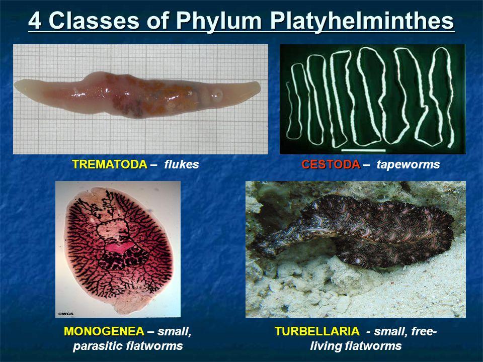 platyhelminthes phylum ppt