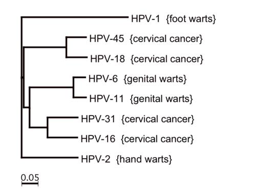 Human papillomavirus or hpv family - Human papillomavirus ppt