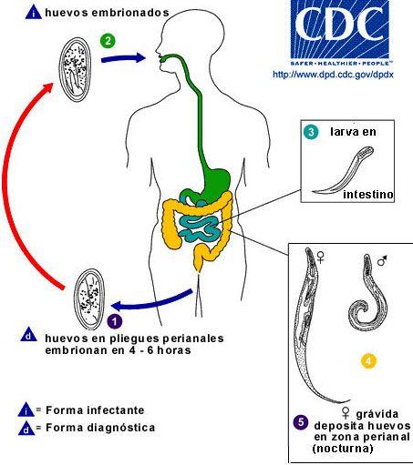 oxiuros ciclo de vida cdc