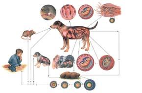 Parazit biohelminths it ,viermi-cytes cum să le trateze Kozni paraziti u kocek