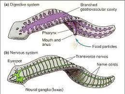 biologie platyhelminthes