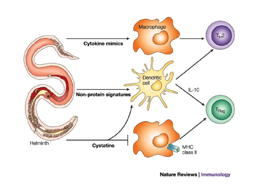 helminth immune cells