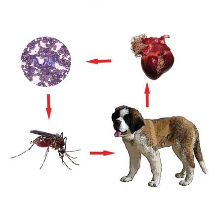 Cele mai bune mijloace de prevenire a viermilor cardiaci la câini: tot ce trebuie să știi!