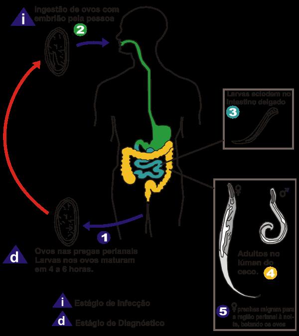 o que e enterobiose ou oxiurose îngrijiri de asistență enterobioză