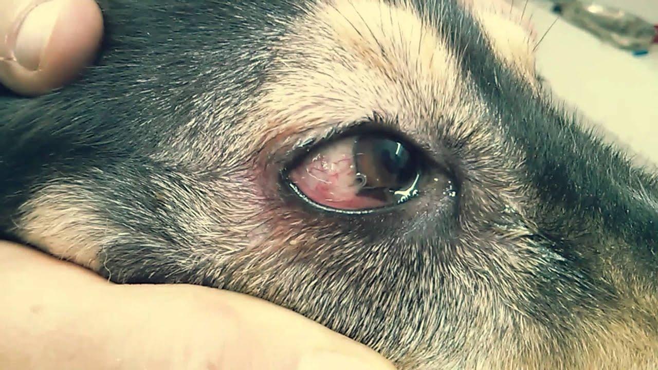 paraziti u oku psa