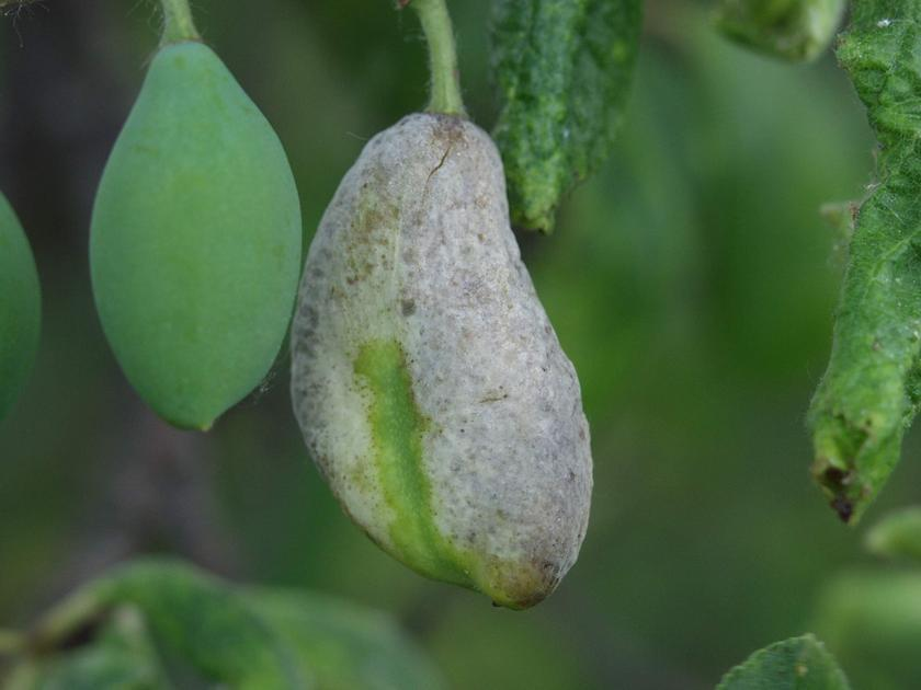 tratamentul prunelor pentru paraziți