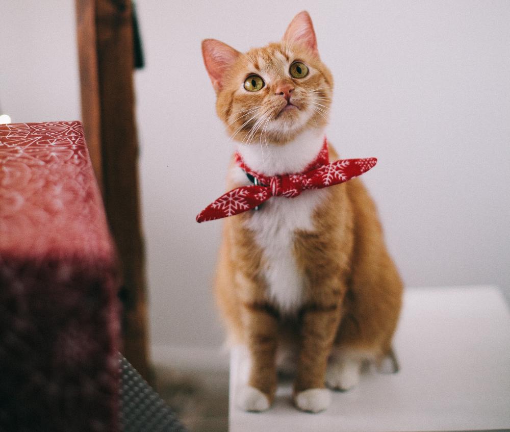 Scabie la pisici: simptome și tratament pentru a descoperi